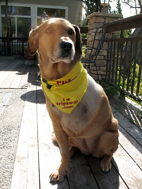 three legged riley dog in tripawds rule bandanna