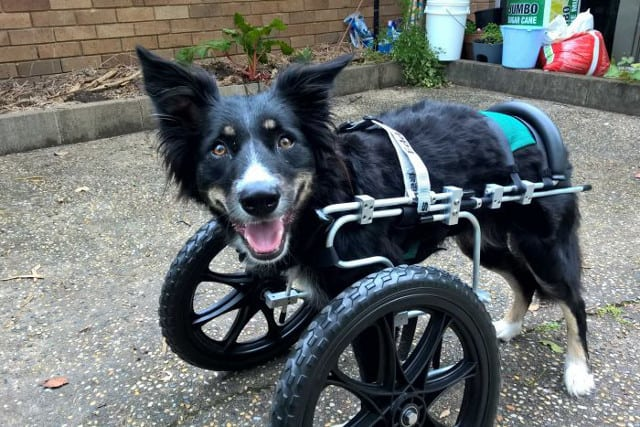 Recovery from canine angular limb difference surgery