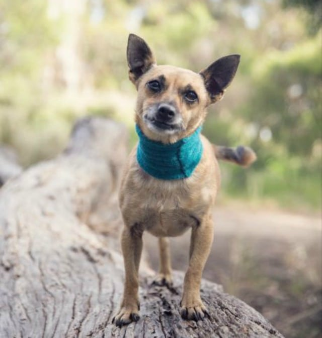 Tripawd Meg, surgery, amputation, recovery, truth about, mast cell cancer