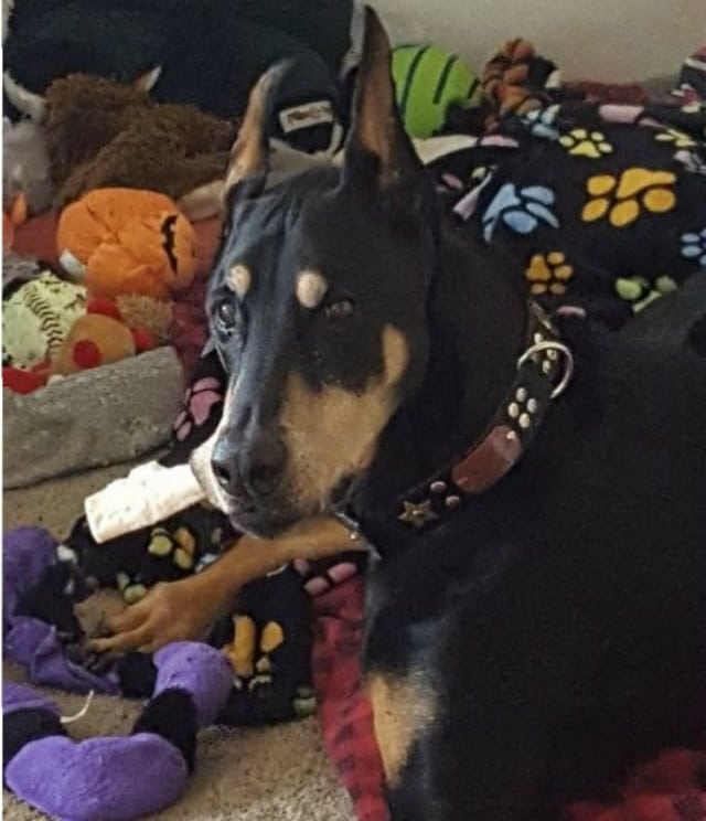 Tripawd, Doberman, three-legged