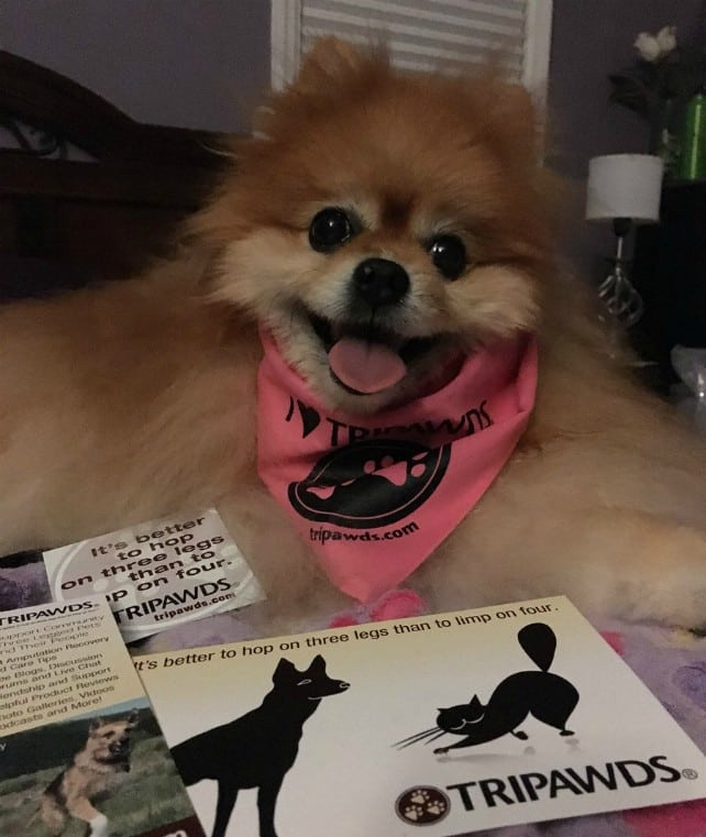 Peaches the Pomeranian Tripawd