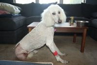 Cadence Three Legged Standard Poodle 2 Days Post-Op