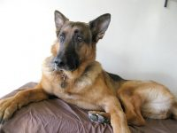 Three Legged GSD Austin Ray