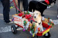 Tripawd Princess Shelby in her Red Wagon