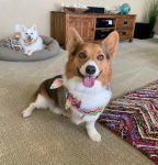 Shadow the Corgi Tripawd