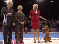 Tripawd Vizsla Bart Wins AKC ACE Award