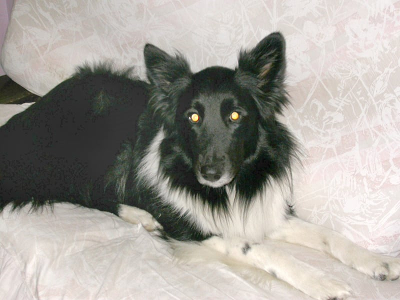 dee three legged shepherd collie mix dog cancer survivor