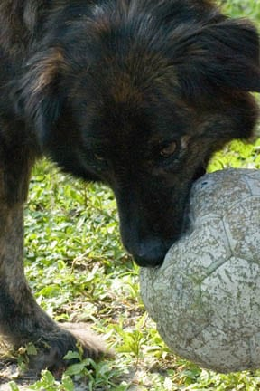 Tripawd Timber Plays with Ball