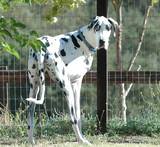 Three legged Dane Dog Moose