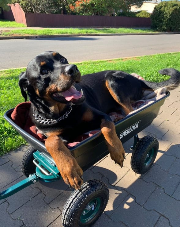 Major the Rottie Tripawd