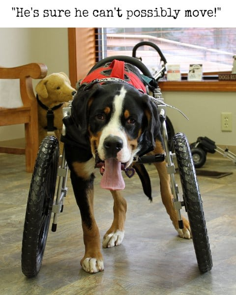 Tripawd Dog Wheelchair Training Tips for Front-Leg Amputees