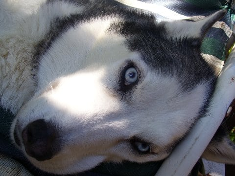 Bone Cancer Hero Husky Dog Buster