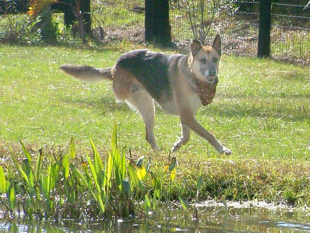 Three Legged Florida Rescue Shepherd Bridget