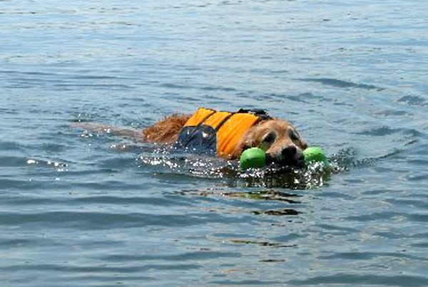 Float Coat life preserver for dogs helps three-legged dog Bailey swim