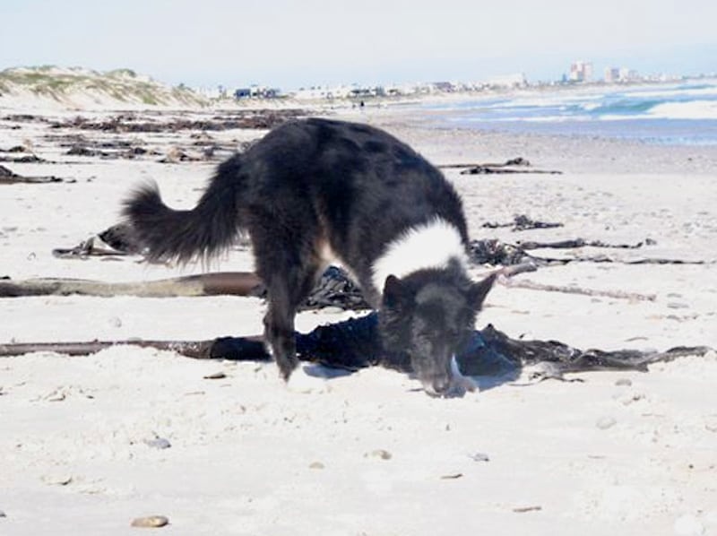 Three legged Dog Dee on South Africa Beach