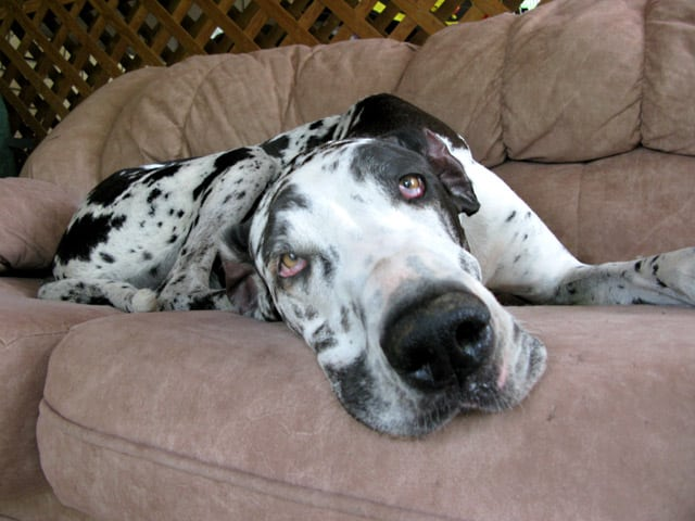 Three Legged Great Dane Cancer Dog Athena