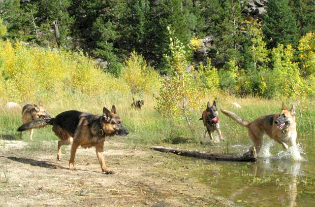 Oaktown Pack Tripawd GSD party in the Rockies