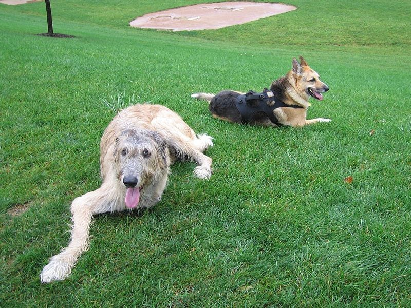 Tripawd Jerry and Three Legged Wofhound Finnegan Local Party