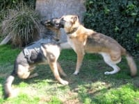 Wyatt and Travis Oaktown Pack German Shepherd Tripawds