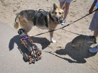 Meeting a parapawlegic dachsund at Fort Funston in San Francisco